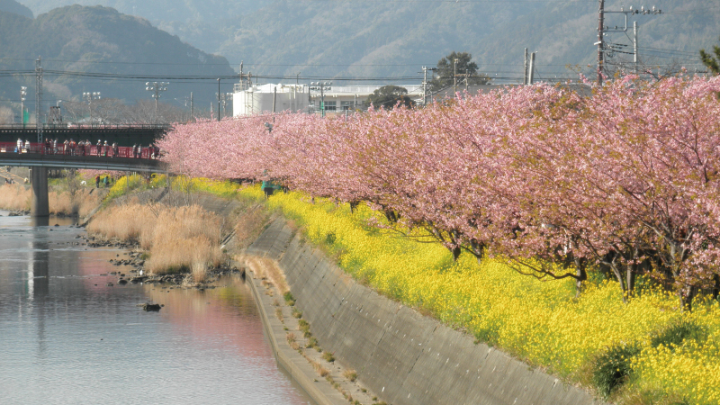 国道135号線から見た河津桜