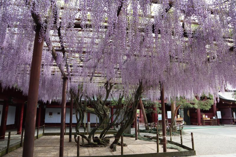 笠間稲荷神社拝殿と藤の花3