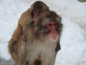 寒さをしのぐ?親子サル