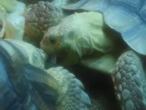 餌を食べる時の亀の表情はイヤ