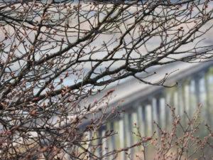桜と蓬莱橋