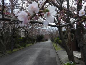 城ヶ崎海岸桜並木道