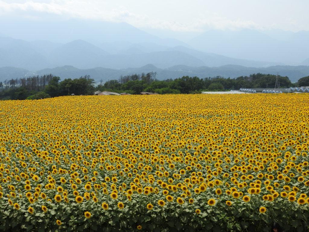 明野ひまわり畑2
