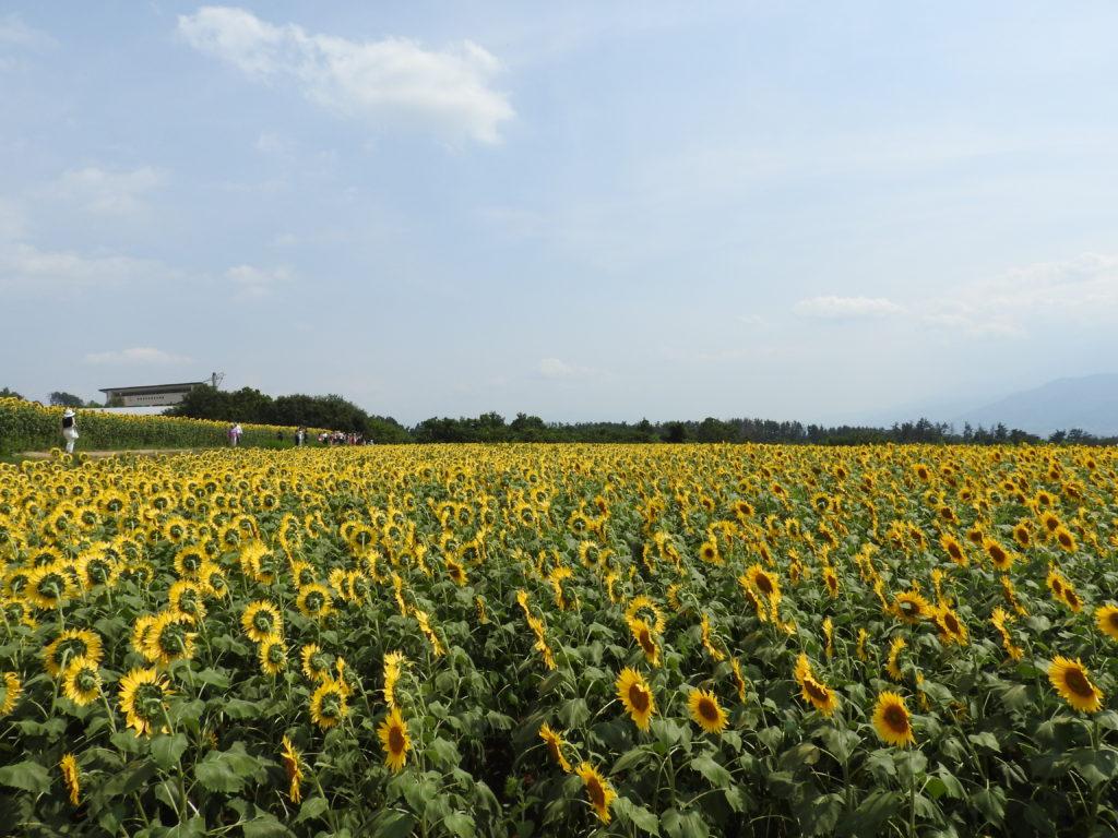 明野ひまわり畑4
