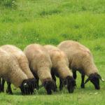 避暑地清里羊の群れ
