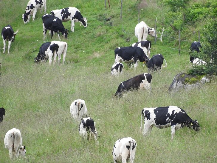 放牧牛がたくさん見られる県営八ヶ岳牧場
