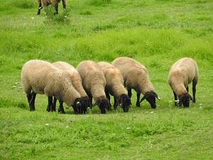 まきば公園の羊