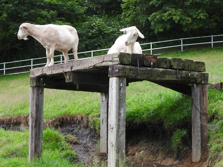 まきば公園のヤギはお立ち台の上
