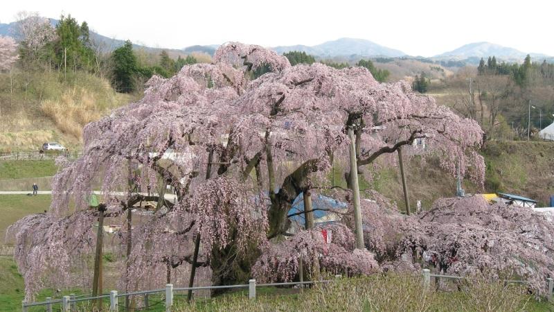 一本桜の三春滝桜